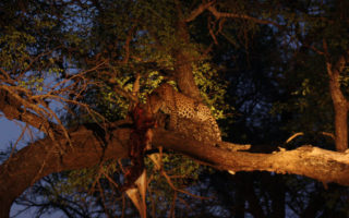 leopard in a tree with a kill