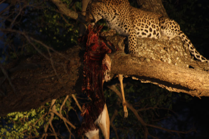 leopard in a tree with a kill, Klaserie, South Africa