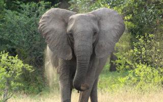 elephant mock charging, Mana Pools, Zimbabwe