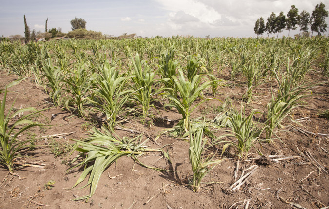 crops damaged by elephants, Laikipia County, Kenya