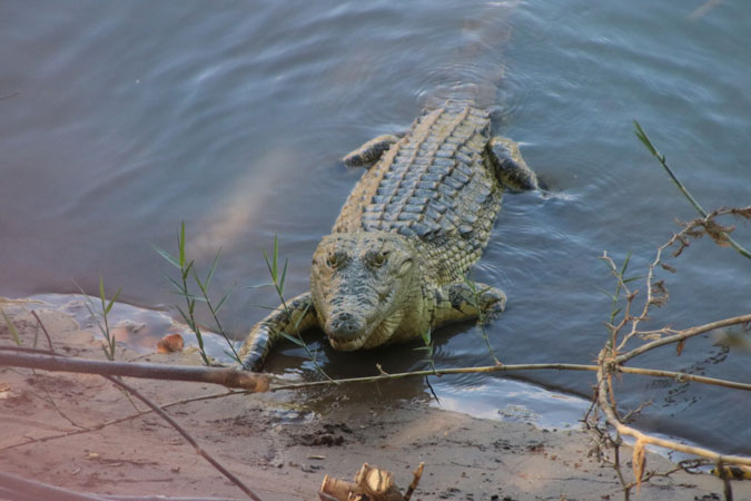 crocodile, Kunene River, Namibia