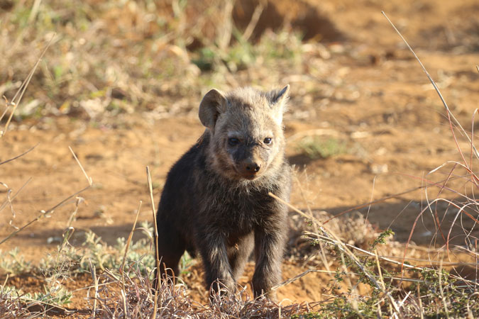 young spotted hyena, wildlife, bush, Madikwe, South Africa