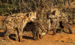 three hyena cubs