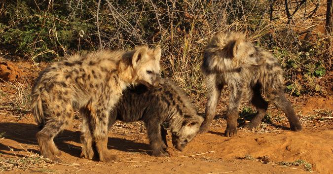 three hyena cubs