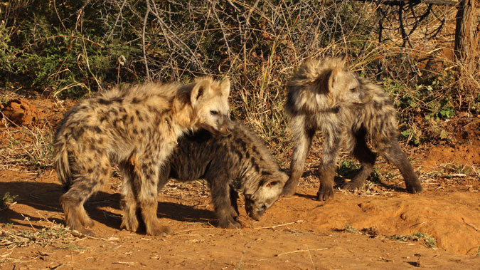 three young spotted hyenas, wildlife, bush, Madikwe, South Africa