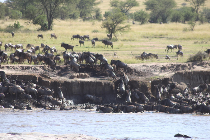 great migration, wildebeest crossing a river