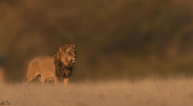 male lion, Kebbel ('XPL81'), Namibia ©Inki Mandt