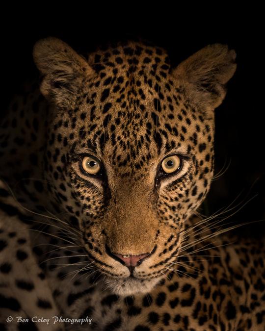 leopard, wildlife, bush safari