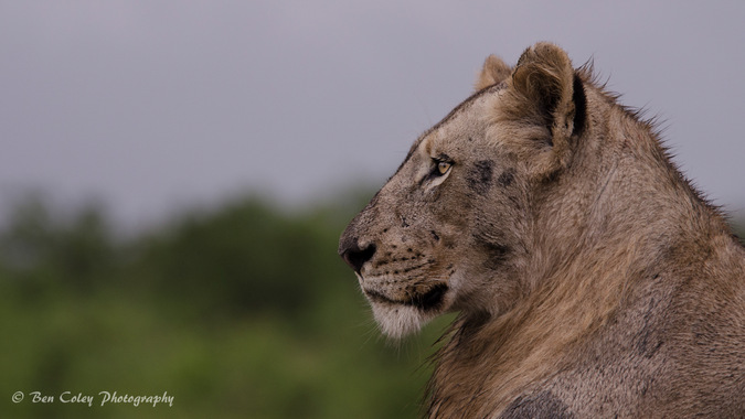 lion, profile