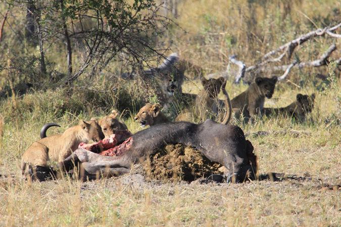 lion pride, buffalo carcass, Namibia