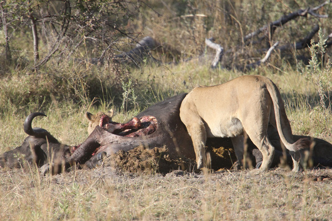 two lionesses, buffalo carcass, Namibia