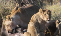 lion pride eating buffalo carcass, Namibia