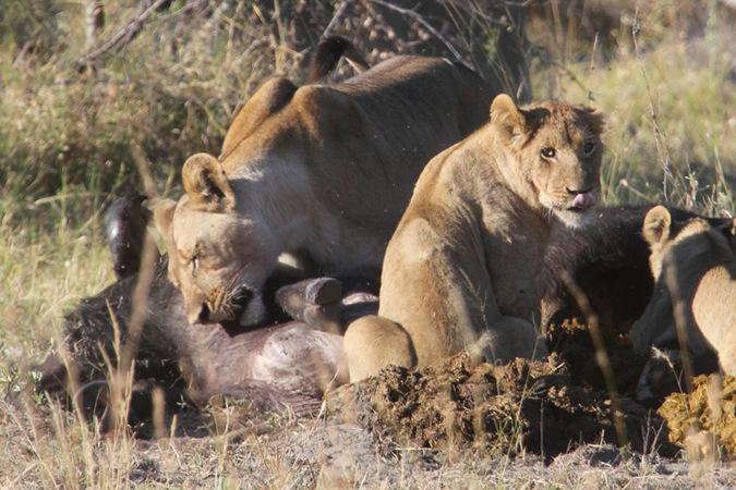 lion pride eating buffalo carcass, Namibia