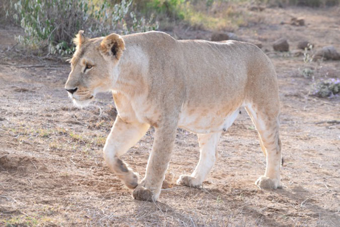 Mara the lioness, Mugie Conservancy, Kenya