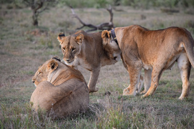 Mara the lioness with other lions, Mugie Conservancy, Kenya