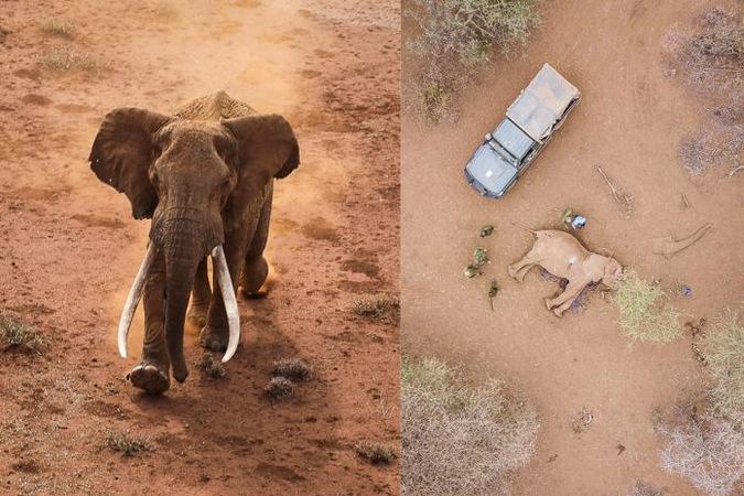 Ndawe, elephant, big tusker