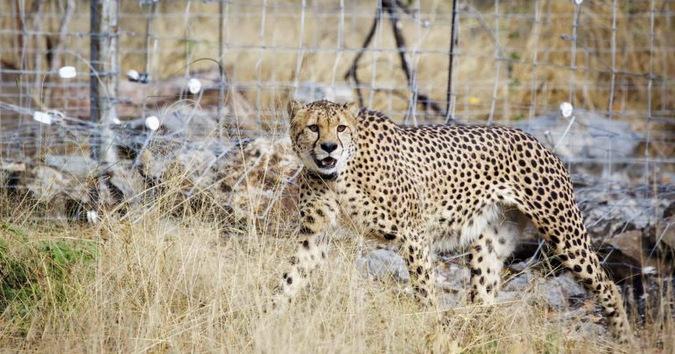 cheetah, Malawi, ©Frank Weitzer
