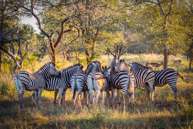 zebra, allogrooming