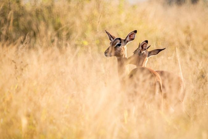 impala, allogrooming