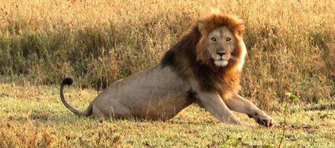 Serengeti safari, lion, Tanzania