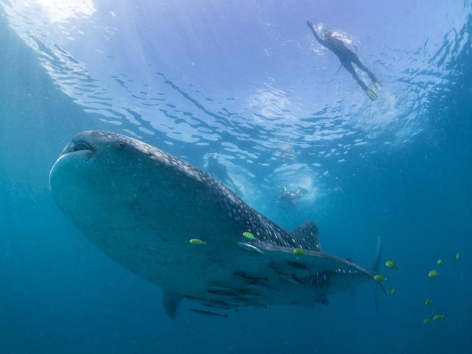 snorkeling, diving, whale shark, Pemba, Tanzania