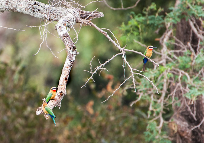 white-fronted bee-eater, bird, tree, Africa