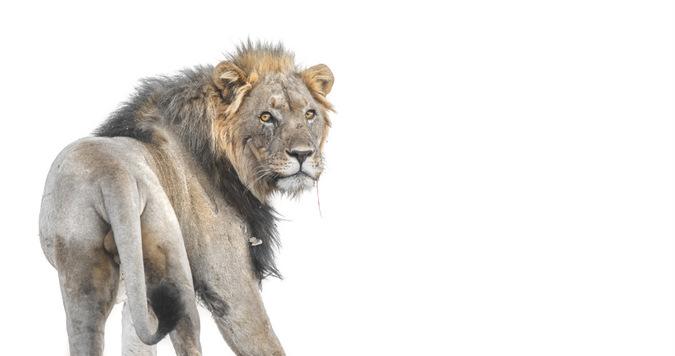 male lion, Namibia, 'XPL87' ©Inki Mandt