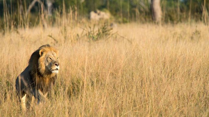 Xanda the lion ©The Times