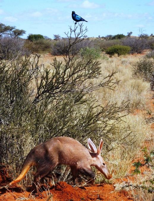 aardvark, Kalahari Desert, South Africa
