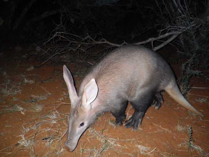 aardvark at night, South Africa