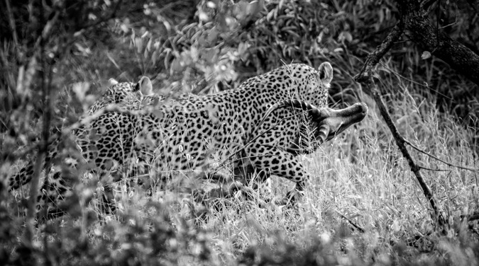 leopard with impala, black & white, Greater Kruger National Park, South Africa