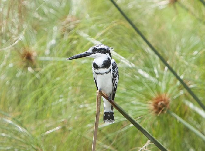 kingfisher, bird, Uganda
