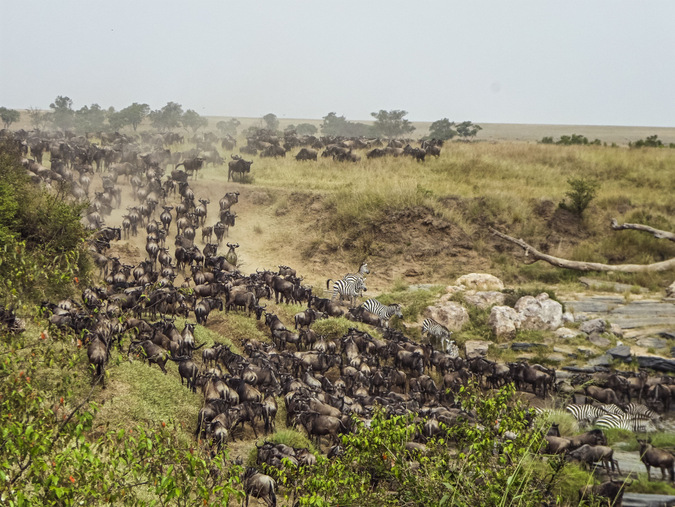 great migration, wildebeest, zebra, Maasai Mara