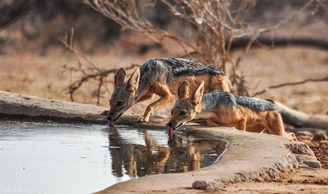 jackal, waterhole, Saruni Samburu, Kenya
