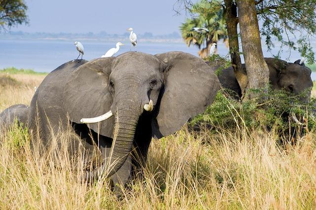elephant, wildlife, Uganda, Africa