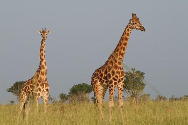 two giraffes, wildlife, Uganda, Africa