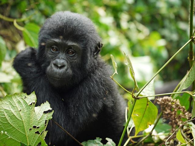 baby mountain gorilla, Uganda