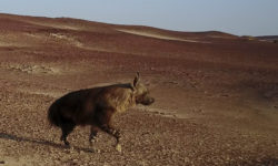 brown hyena, Namibia
