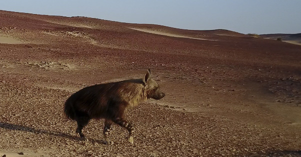 brown hyena, Namibia