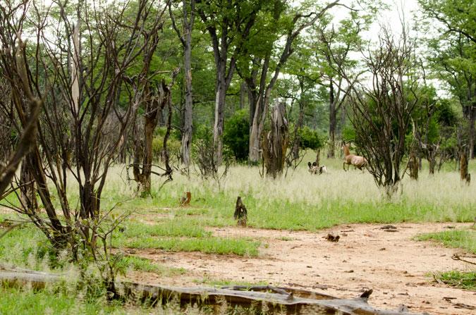 impala, Vundu Camp, Mana Pools, Zimbabwe