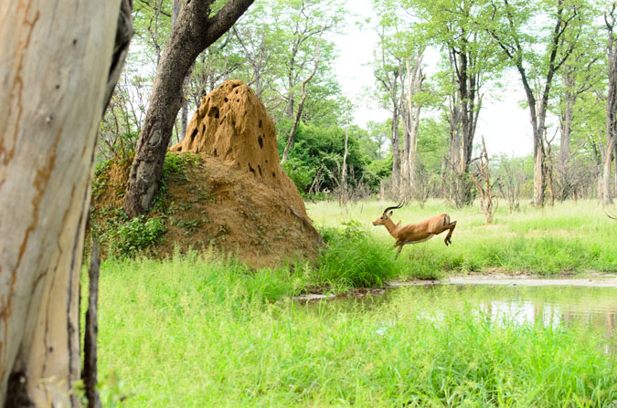 impala, running for his life, wild dogs, Vundu Camp, Mana Pools, Zimbabwe