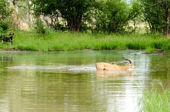 impala, wild dogs, crocodile, Vundu Camp, Mana Pools, Zimbabwe