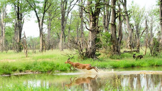 impala, wild dogs, Vundu Camp, Mana Pools, Zimbabwe