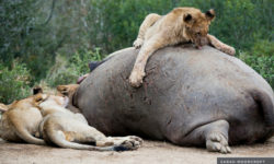 lion on hippo carcass