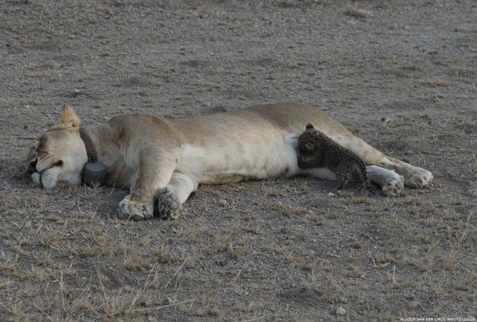 wild lioness nursing leopard cub, Tanzania