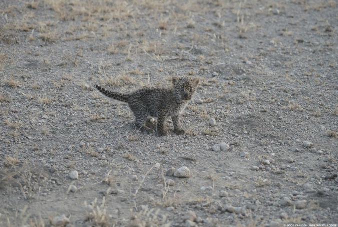 3 week old leopard cub, Tanzania
