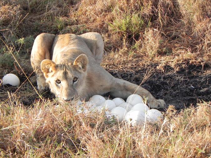 lioness, ostrich eggs, Kenya