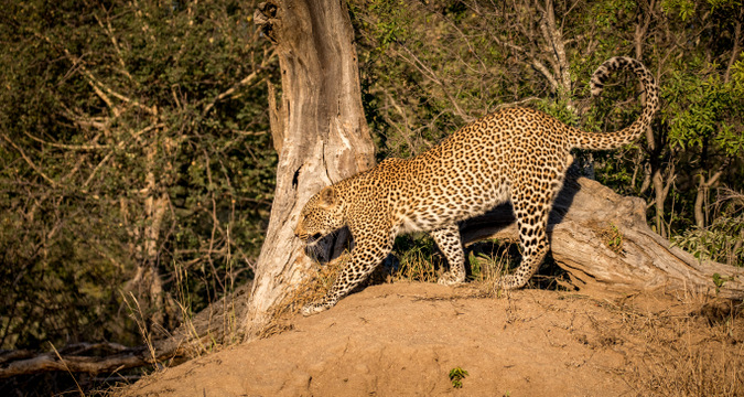 leopard, Greater Kruger National Park, South Africa