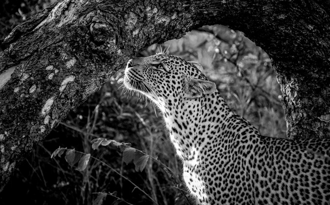 leopard, black & white, Greater Kruger National Park, South Africa