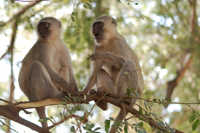 vervet monkeys, allogrooming